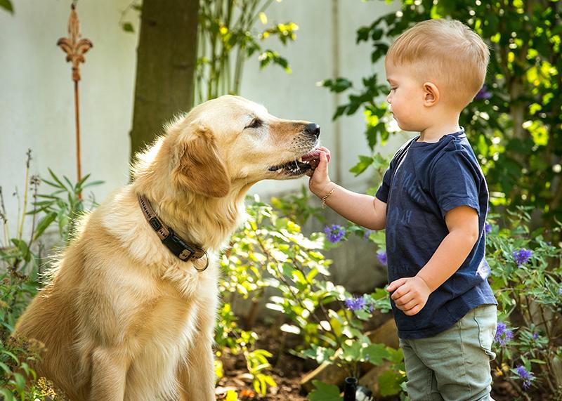 Ein kleiner Bub füttert einen Golden Retriever Hund mit Leckerlies